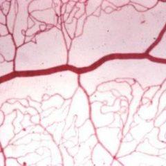 Imagem da notícia: Investigadores criam vasos sanguíneos artificiais