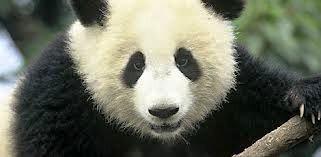 Imagem da notícia: Pandas podem ser fulcrais na saúde