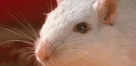 Imagem da notícia: Visão de ratos é restaurada
