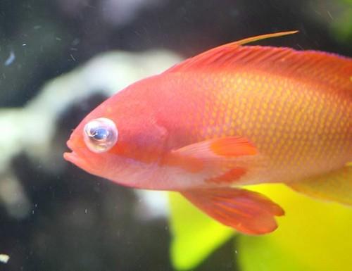 Imagem da notícia: Olhos dos peixes ajudam oftalmologia?